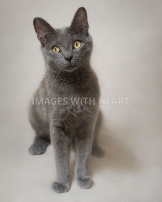 Gray cat sitting and looking at camera