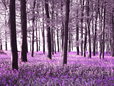 Bluebells covering forest floor