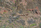 Pack Train Leaving Phantom Ranch- Grand Canyon