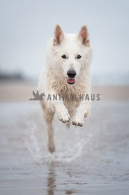 White German Shepherd Dog running towards the camera jumping at the beach with cloudy sky