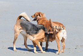 Meeting, Hound mix sniffing golden retriever on the beach.