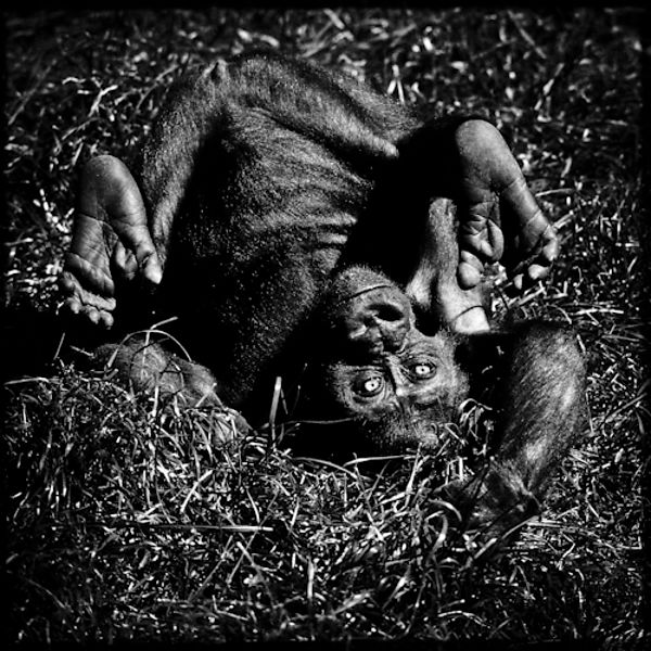 Laurent Baheux | Baby chimpanzee playing in the grass © Laurent