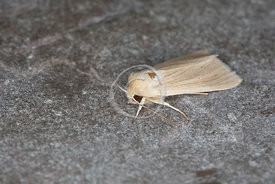 [Mythimna pallens [73.291] Common Wainscot]-[GBR-Flatford Mill]