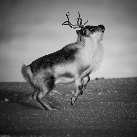 9372-Reindeer_flying_to_the_moon_Svalbard_2016_Laurent_Baheux