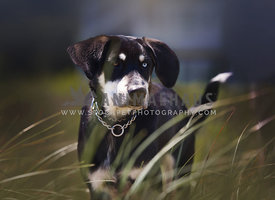 Catahoula mixed breed dog with blue eye standing in the dune grass wearing a collar