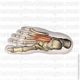 foot-musculus-extensor-digitorum-brevis-muscle-middle-phalanx-calcaneus-top-view-skin