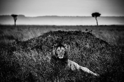 4735-Lion_in_the_plain_Masai_Mara_Kenya_2013_Laurent_Baheux