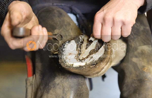 Farrier cleaning the inside of the hoof