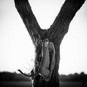 5259-Leopard_climbing_the_tree_Botswana_2009_Laurent_Baheux