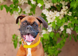Boxer Dog smiles in a garden with flowers