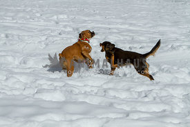 flashy fawn Boxer dog and black and tan mix breed playing in snow