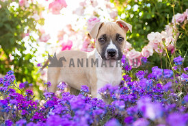 pitbull terrier puppy in field of flowers