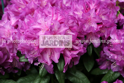 Rhododendron 'Purple Passion'