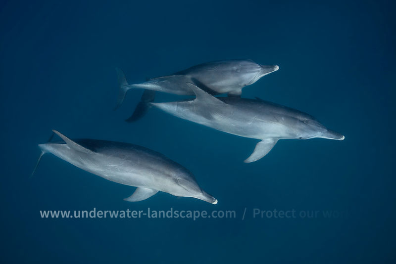 Dolphin pictures - Bottlenose dolphins - dolphin photos