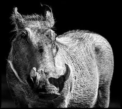 6549-Warthog_in_the_light_Tanzania_2007_Laurent_Baheux