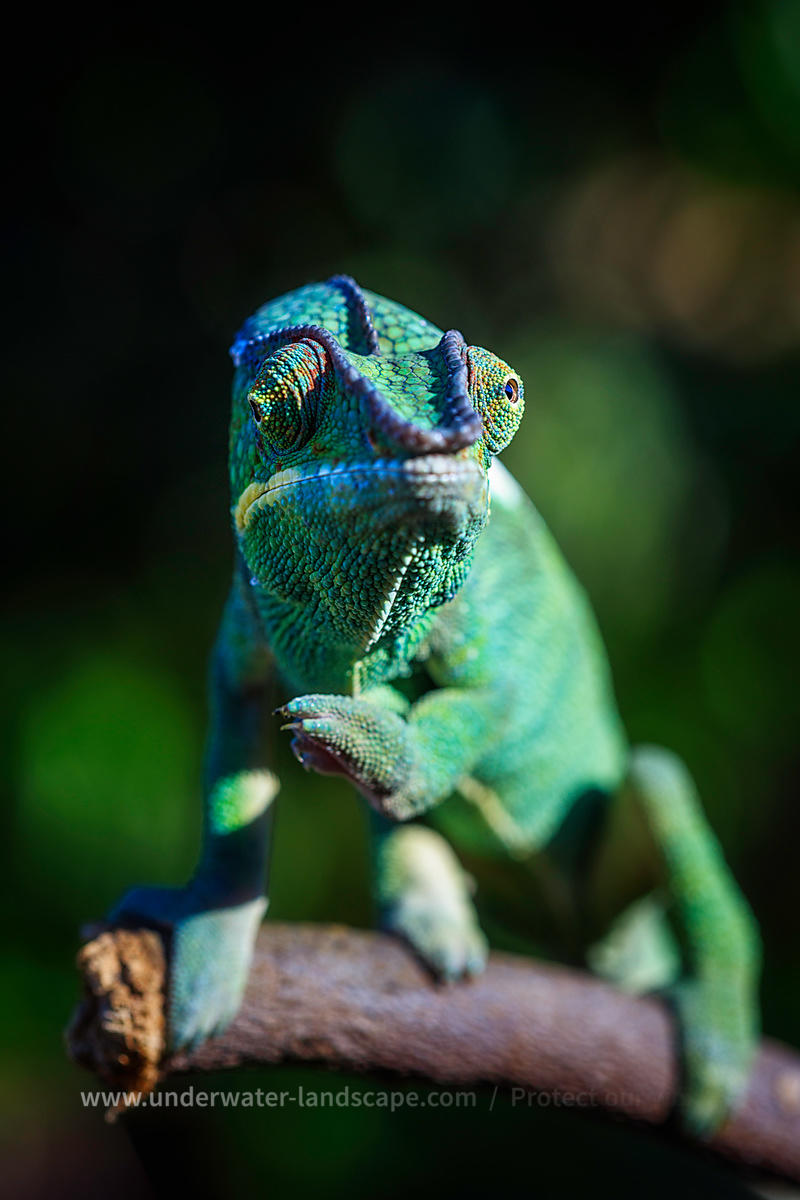 Panther chameleon in Nosy be