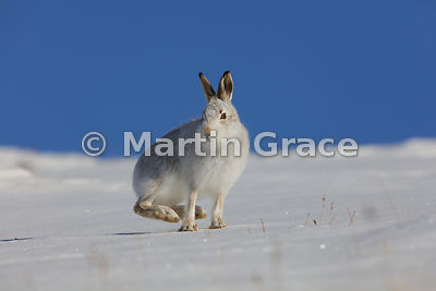 Mountain Hare (Arctic Hare) (Lepus timidus) balancing on its front feet in snow, with its hind feet off the ground, February ...