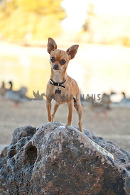 Brown Chihuahua in park