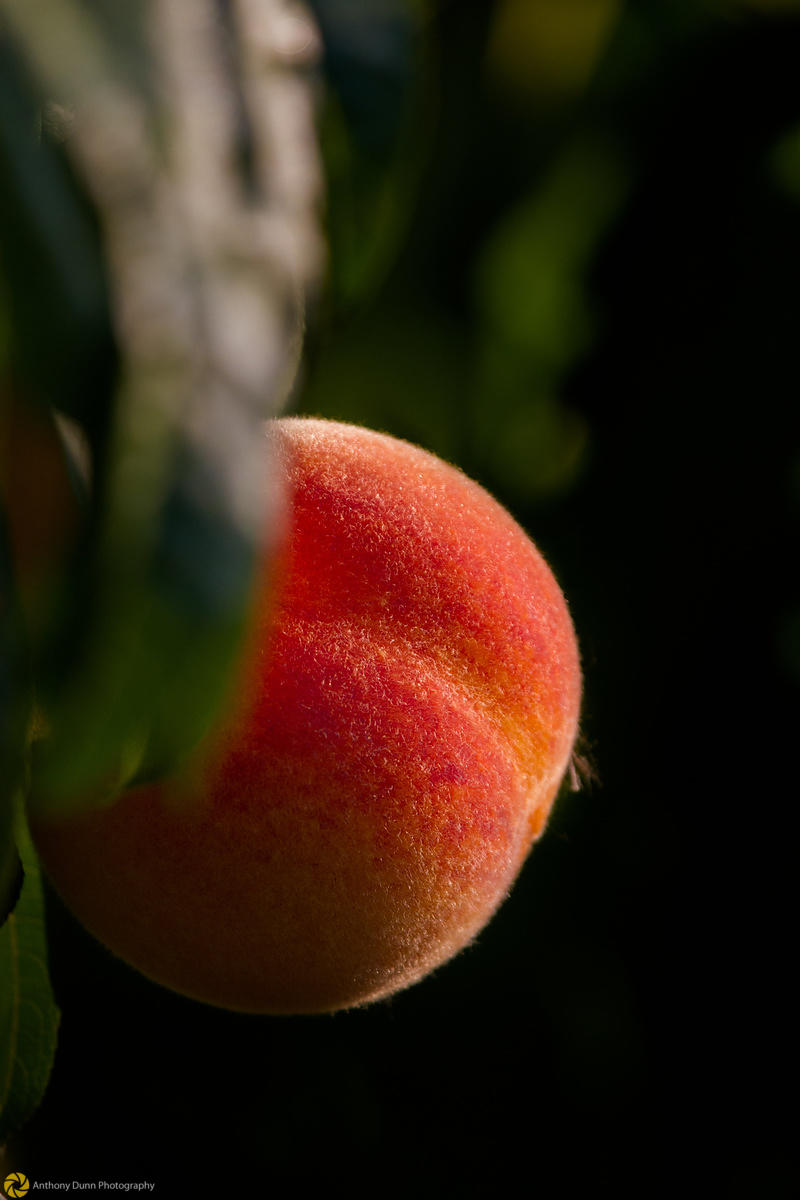 Ripe Peaches on the Tree #3