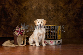 Golden retreiver puppy in studio setting