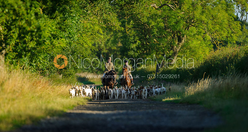The Cottesmore Hunt on hound exercise 31/7