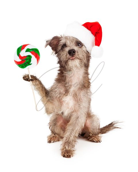 Terrier Dog With Christmas Candy