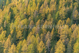 Contrast between larch trees and pine trees in autumn in the South Tyrol, Dolomites, Italy.