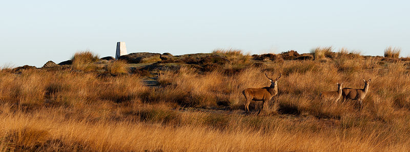 Red deer near White Edge trig point
