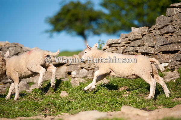 Hutchinson Photography - Farm Images | Lambs running and