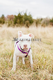 white pitbull puppy with purple harness in grass
