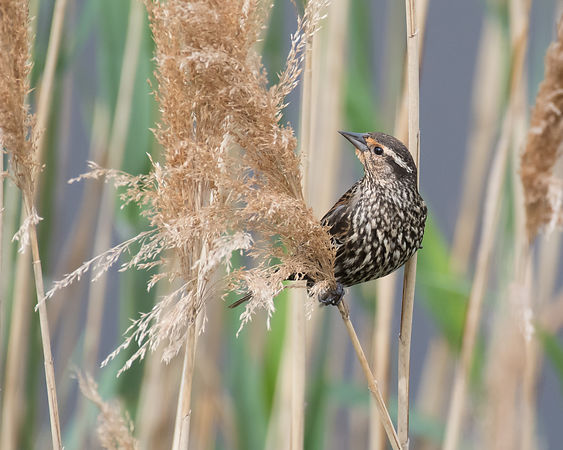 Red-winged Blackbird (Female) #2