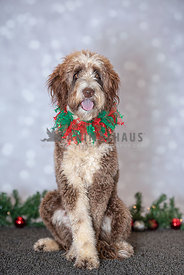 Large doodle wearing Christmas collar sitting up with front legs crossed