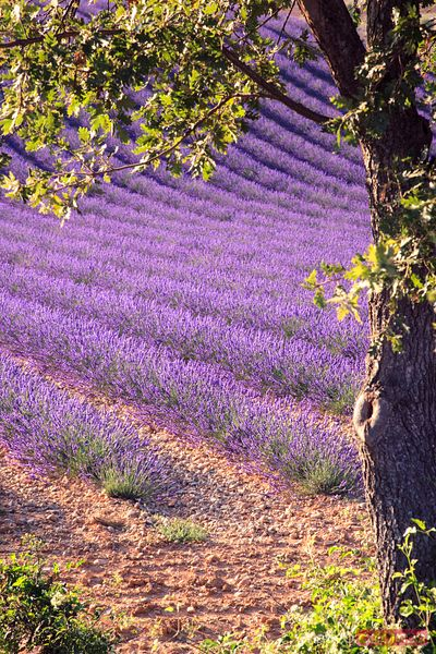 Lavender rows in full bloom and tree