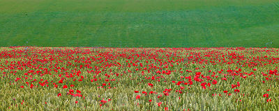 Poppies in wheat field