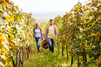 Grape harvest, Young couple having fun, Slavonia, Croatia