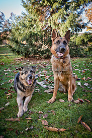 two german shepherds on grass in front of evergreen trees