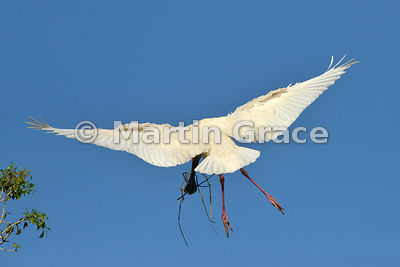 Rear view of African Spoonbill (Platalea alba) carrying nesting material back to its nest, River Chobe, Botswana