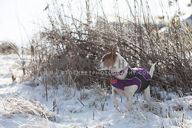 jack russell terrier in jacket in snow