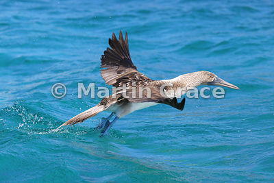 Blue-Footed Booby (Sula nebouxii excisa) taking off from the sea, Sombrero Chino, Santiago, Galapagos Islands