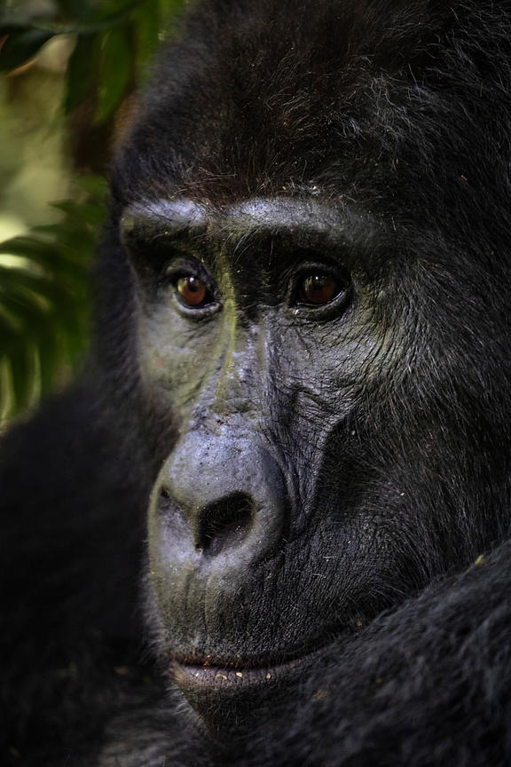 Portrait of a Mountain Gorilla Female