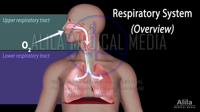 Overview of the Respiratory system NARRATED animation