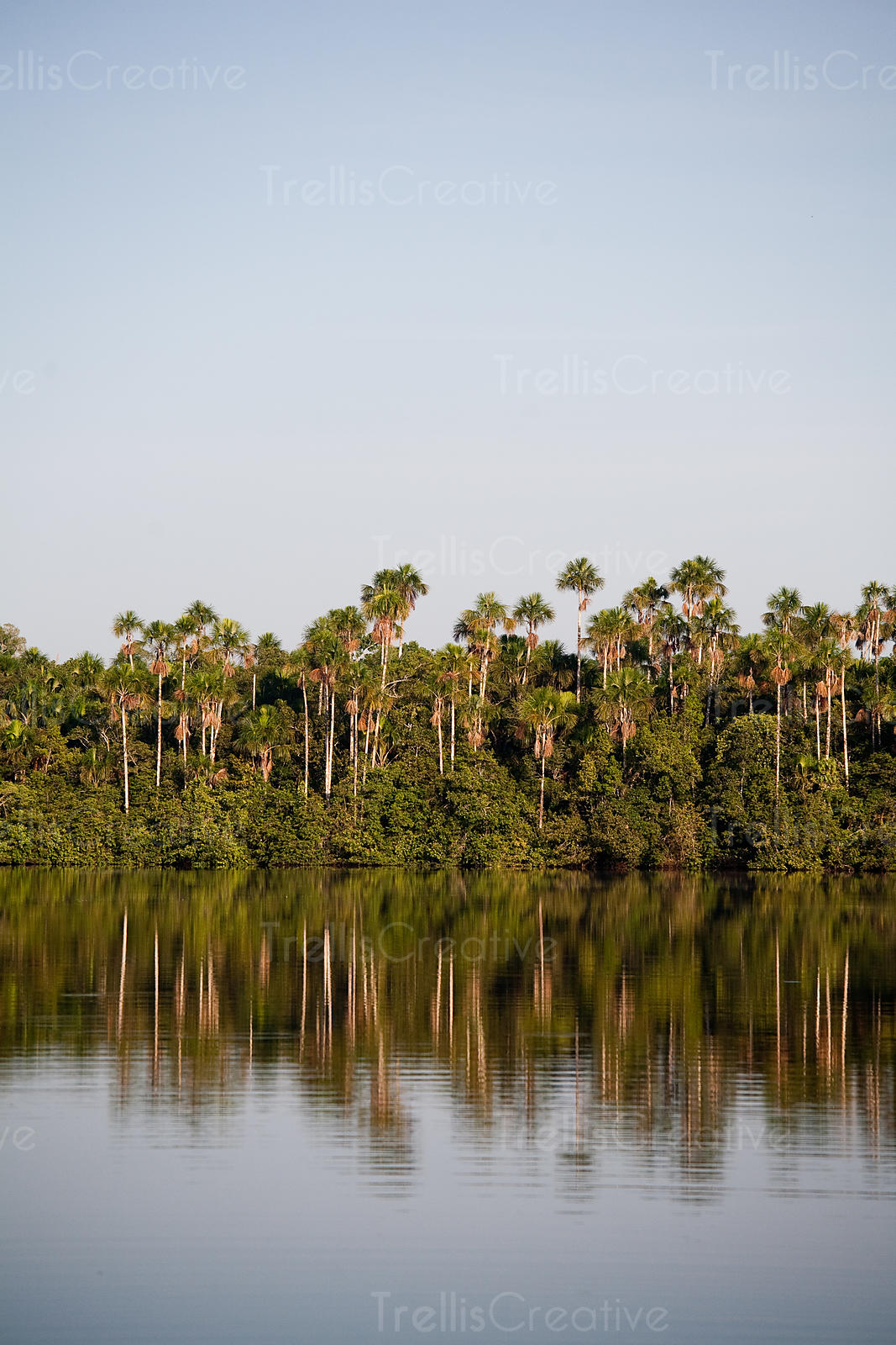 Palm treel reflections on the water of an Amazon jungle lake