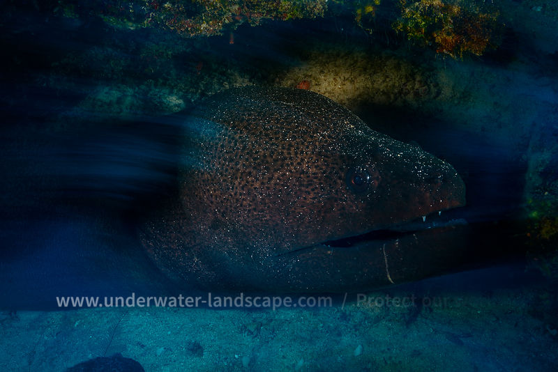 Speed Giant Moray