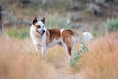 Heeler cross standing on trail