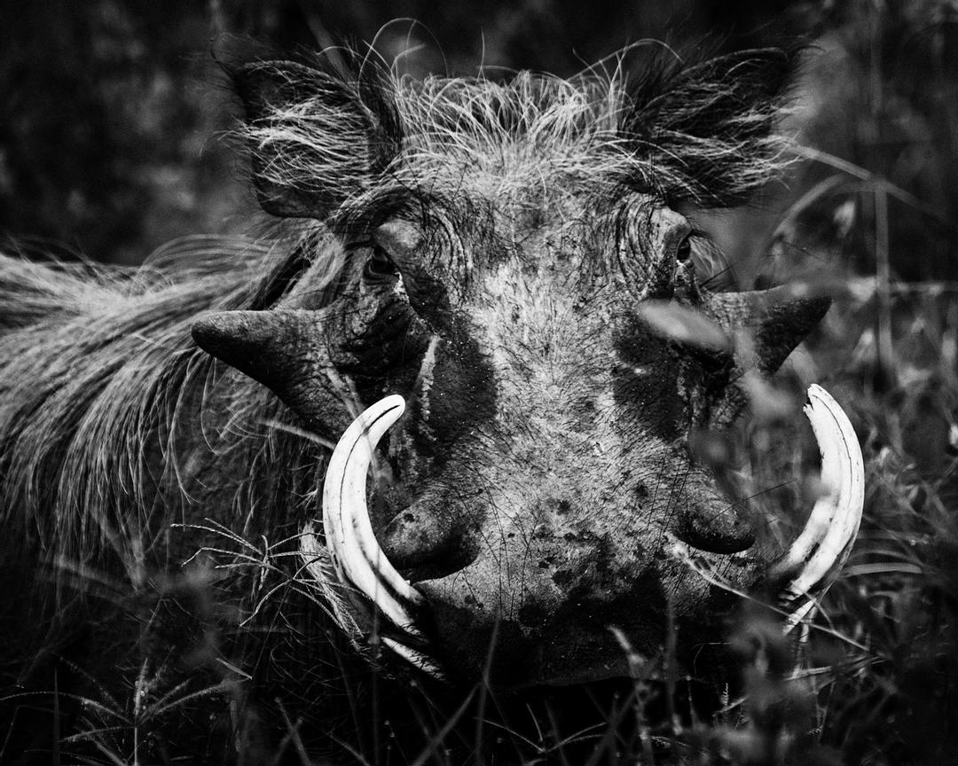 02192-Warthdog_Laurent_Baheux