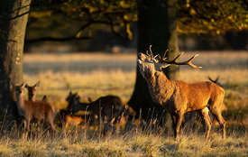 Bellowing Stag at Dawn