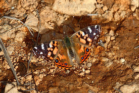Andean painted lady butterfly (Vanessa altissima)