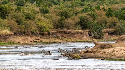 Zebra Crossing Mara River in Kenya Africa