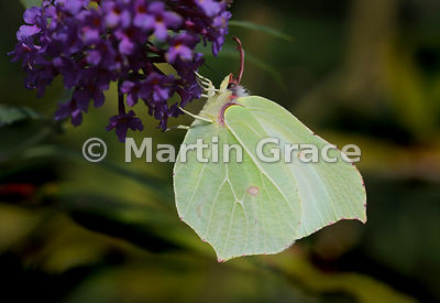 Female Brimstone (Gonepteryx rhamni) on Buddleia (Buddleia davidii) in an English Lake District garden, Cumbria