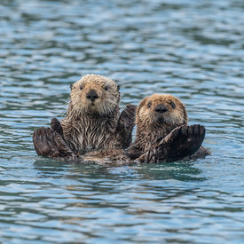 Otters wildlife photos